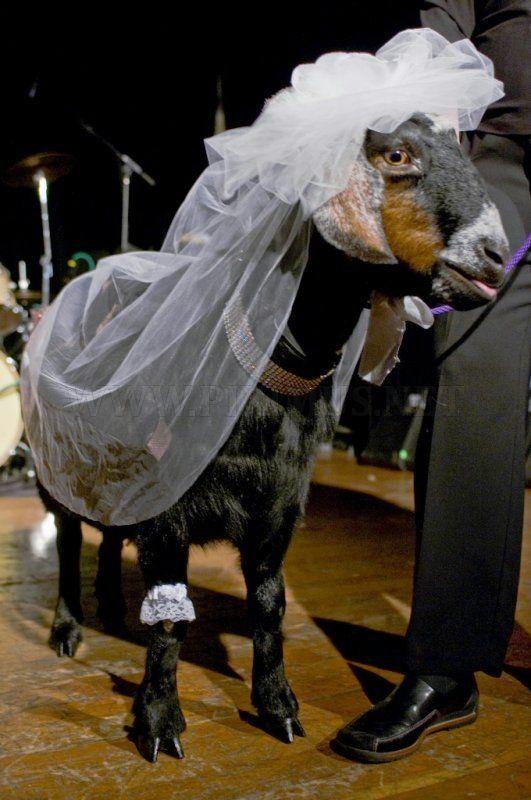 Goat in Wedding Dress
