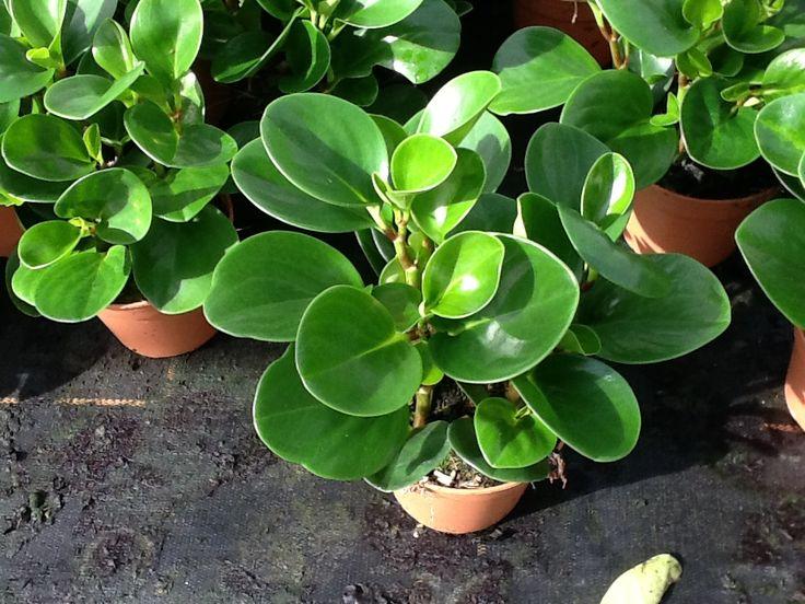Peperomia obtusifolia buscar con google succulents for Caoutchouc plante exterieur