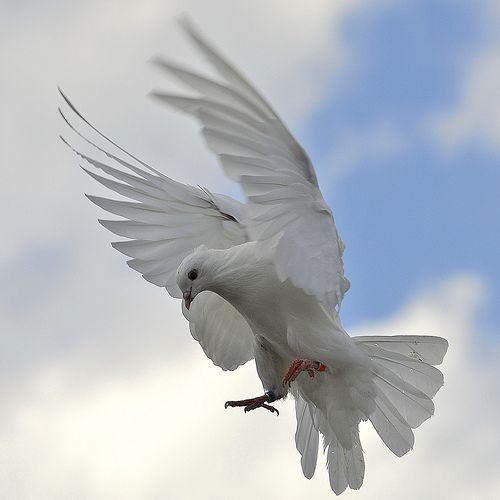 Jayme - dove
