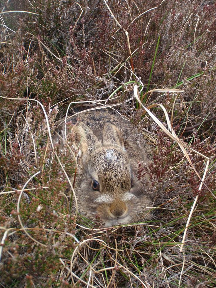 Mountain hare (Lepus timidus). Here's a picture of a young Leveret our Dark Peak Estate Team Supervisor, Steven Lindop, came across on the moors recently .  Unlike their smaller cousins, the rabbit, hares live all of their short lives above ground.  Leverets spend all day alone, lying in shallow depressions called forms. They will stay perfectly still hoping to avoid detection relying exclusively on their  camouflage for protection. As you can see from the picture, it is rather good. 10 May.