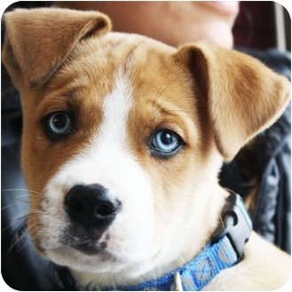 boxador puppy... look at them eyes .. so freakin cuuuute <3