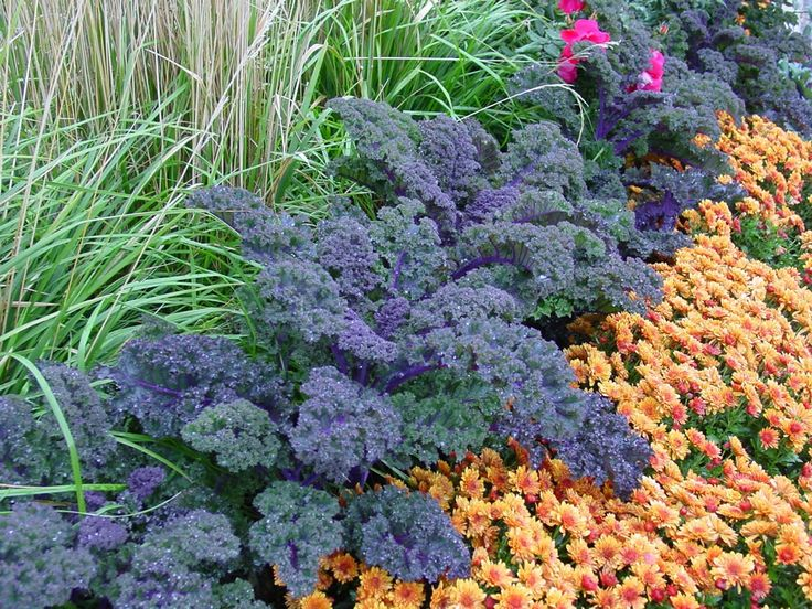 124 best ideas about ornamental grasses on pinterest for Purple grasses for landscaping