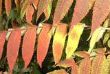 A non-poison sumac tree in all its fall foliage splendor.