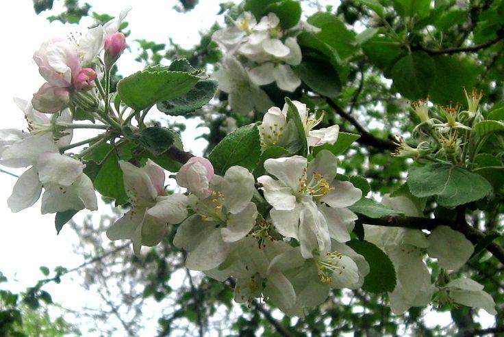 Apple trees blooming in my parents' garden