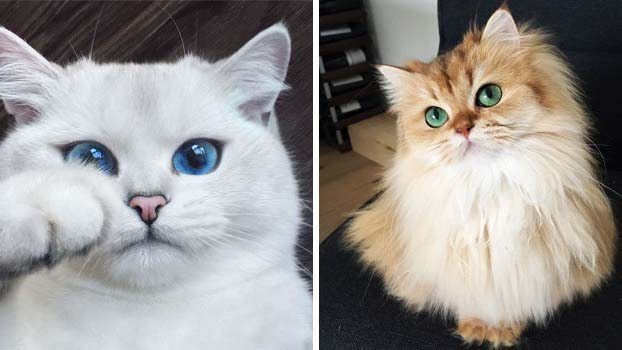 Najkrajšie mačky na svete!