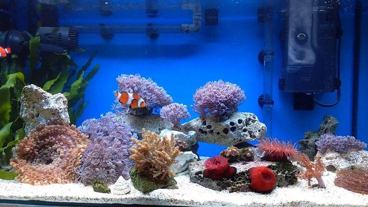 Nano tengeri akvárium 60 literes / Nano marine tank 60 liter