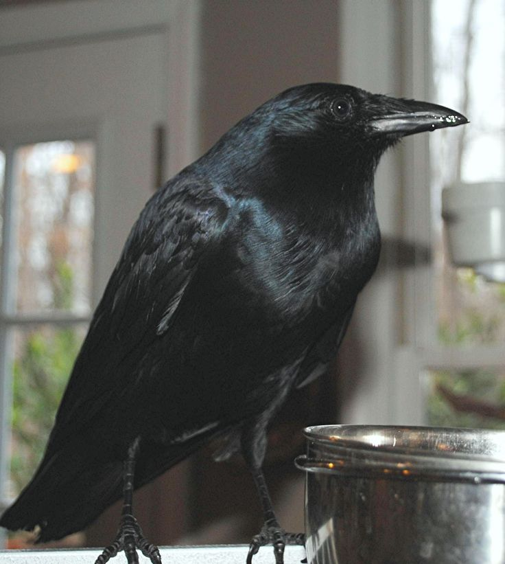 Cheryl, a crow belonging to the user   CTuskey here on Pinterest: http://pinterest.com/ctuskey/cheryl-crow/