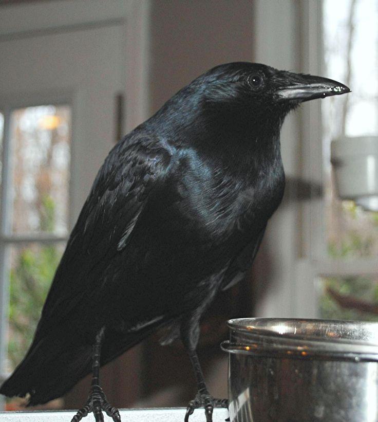 Cheryl, a crow belonging to the user   CTuskey here on Pinterest: http://pinterest.com/ctuskey/cheryl-crow/