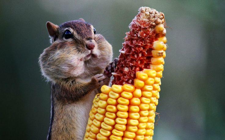 Ardilla comiendo mazorca de maíz - Chipmunk eating corn
