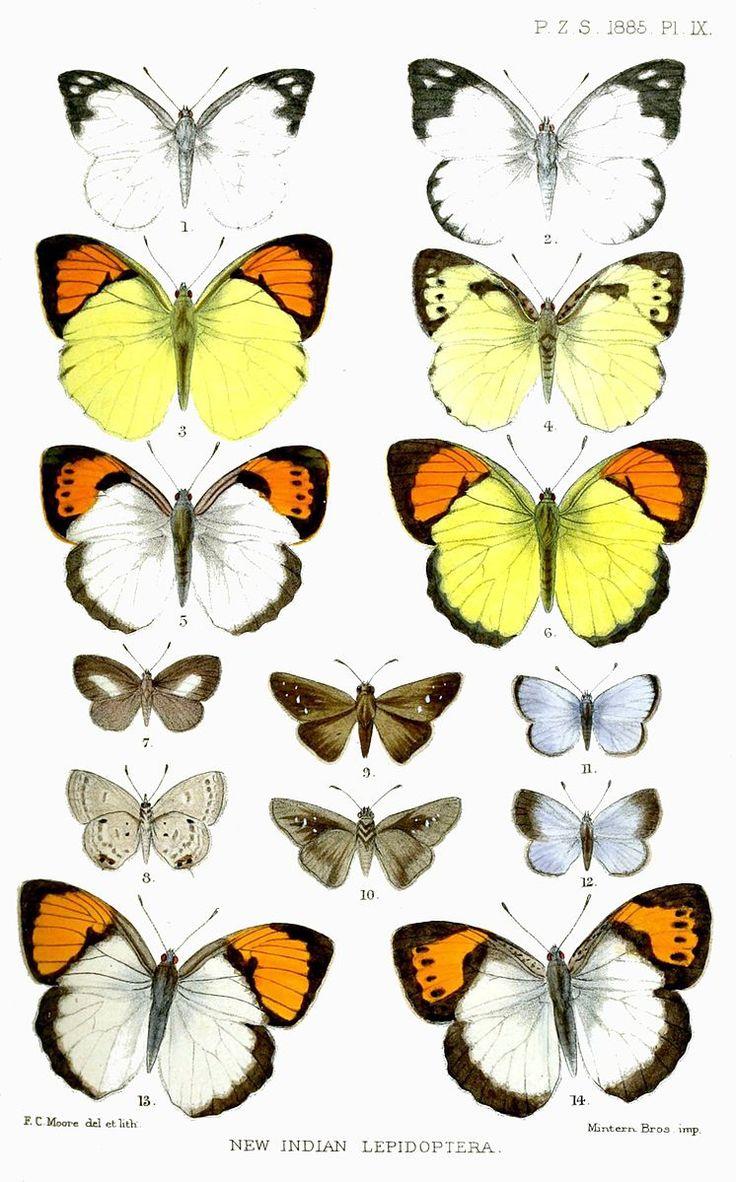 File:IndianLepidopteraMoore.jpg