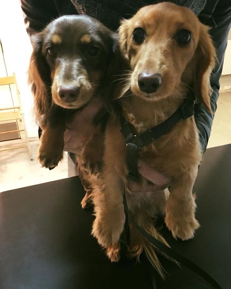 The 25+ best Miniature dachshund rescue ideas on Pinterest ...