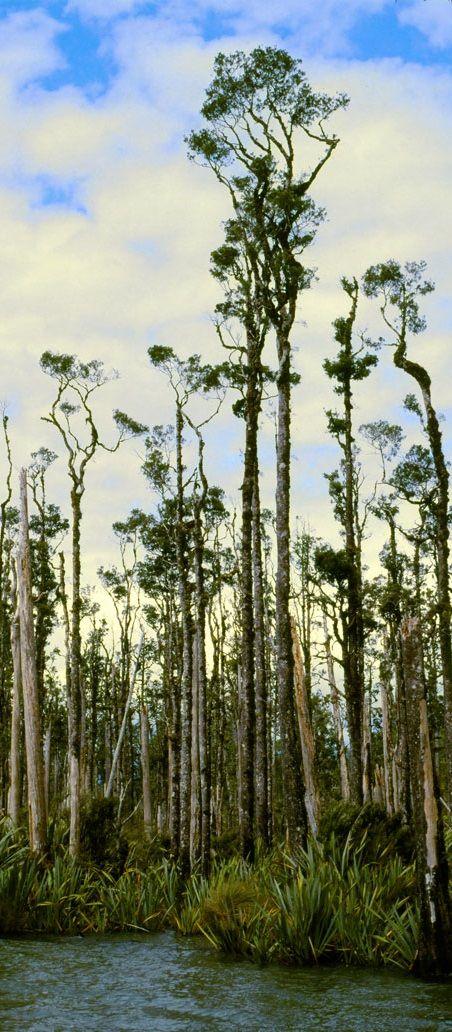Lake Wahapo Kahikatea forest flax - NZ