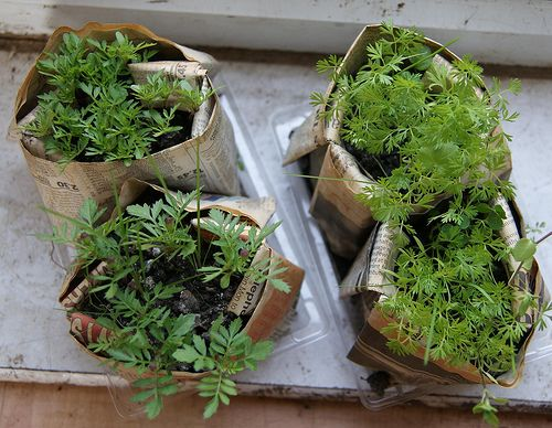 How to Harden Off Seedlings. Seedlings that have been germinated indoors need to be hardened off before transplanting planting in the garden.