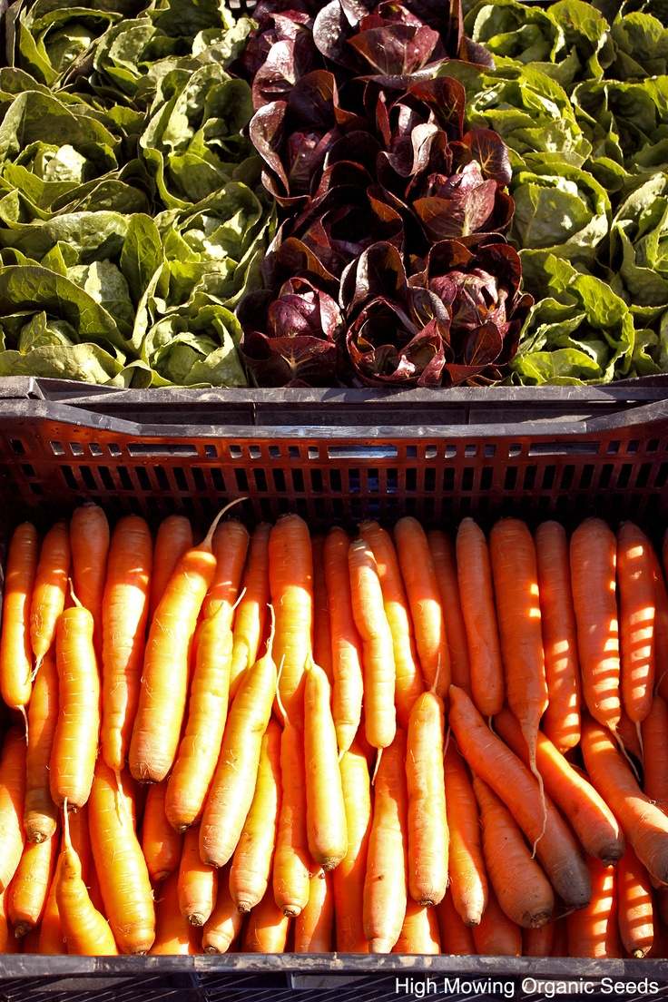 Organic Breen, Spretnak & Aerostar Lettuce, Organic Napoli and Ya-Ya carrots. From the High Mowing Organic Seeds' Trials Fields.