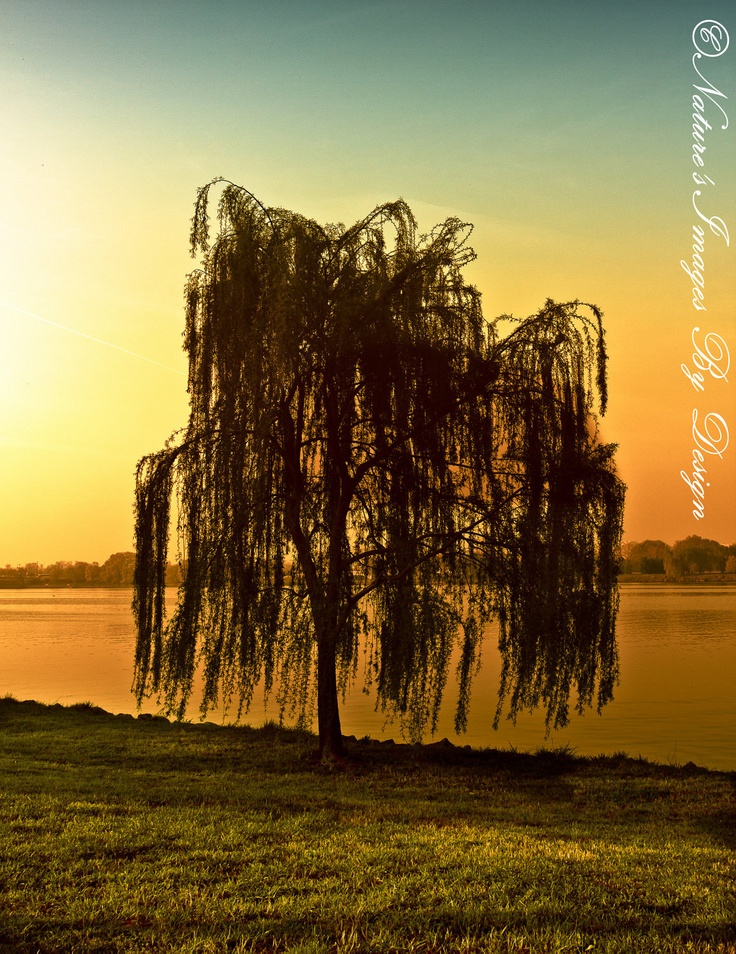 Single Willow Tree