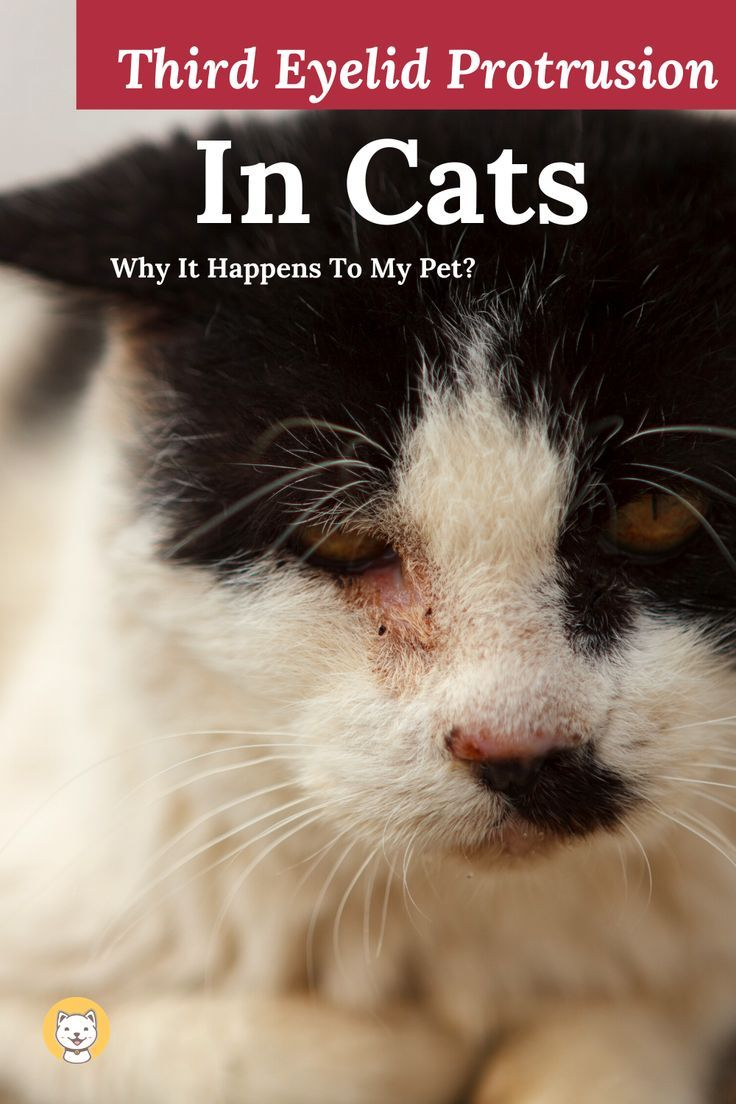 Third Eyelid Protrusion In Cats Why It Happens To My Cat In 2020 Cats Pets Animals