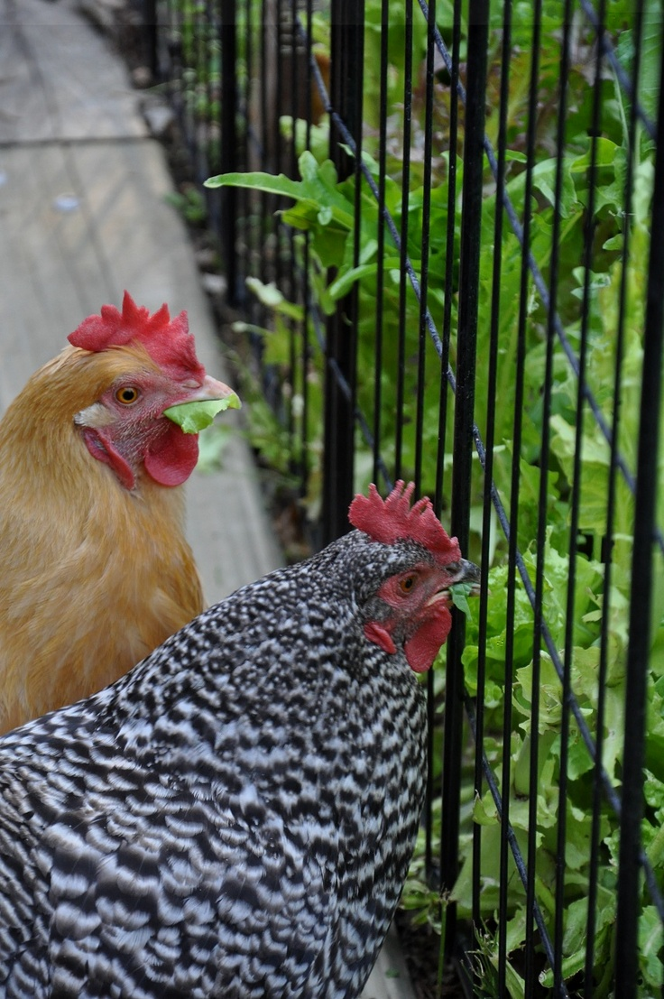Gardening with Chickens - this is a typical posture of my girls, but I would be chasing them away at this point.....