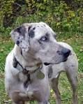 silver leopard cur - Google Search