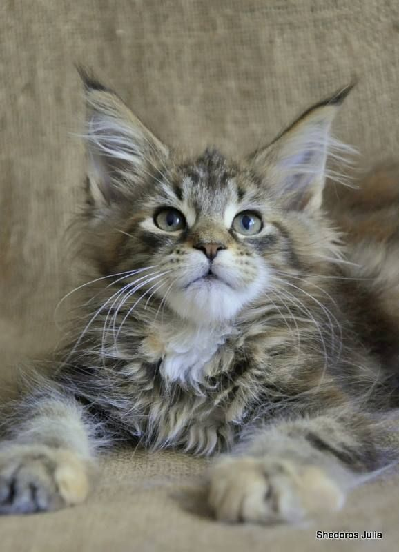 Baby maine coon kittens adoption