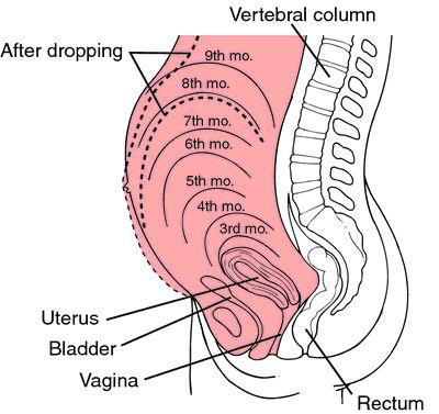 Uterus Size During Pregnancy - New Kids Center