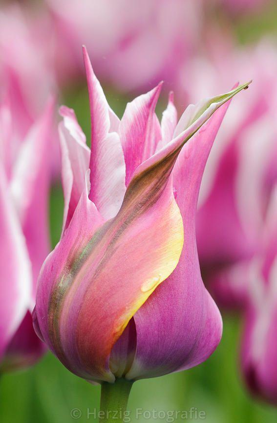 """Tulip """"Ballade'"""