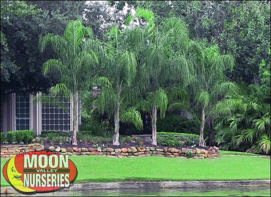 Piru Queen Palm For Sale Cold Hardy Arizona Palm Trees