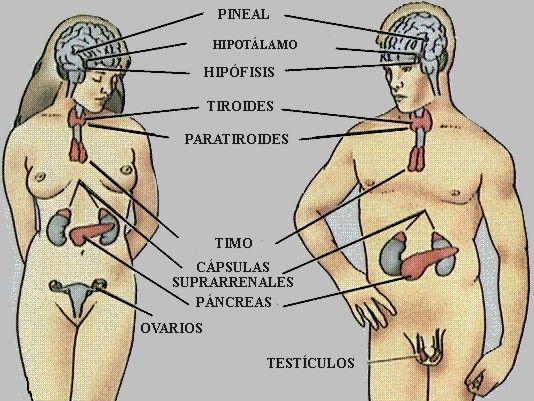 Parts del sistema endocrí