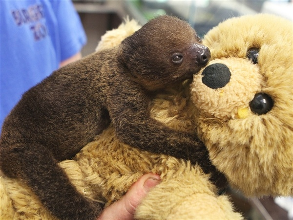 Are you my mommy? Baby sloth adopts teddy bear as mother (Gert Janssen / DPA / Landov)