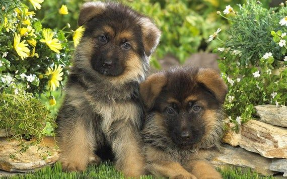 Fabric German Shepherd Puppies On One