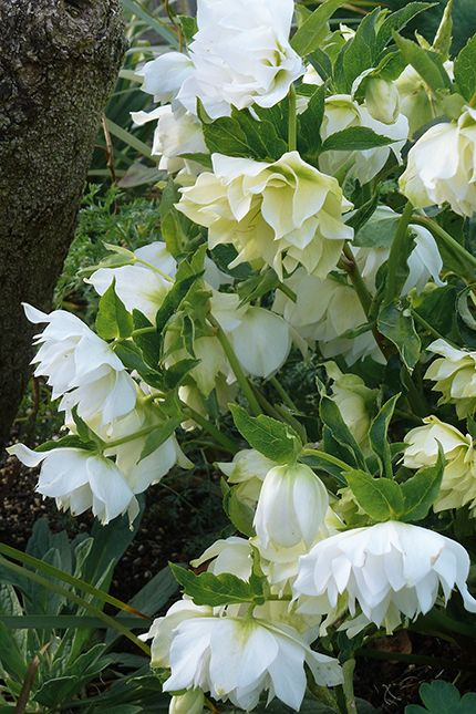 We can ignore them, neglect them and even abuse them and thankfully, our ever so heroic Hellebores are just unbreakable, returning year after year in late ...