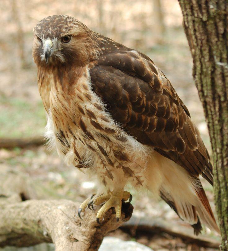 Hawk Spirit Meaning, Symbols, and Totem