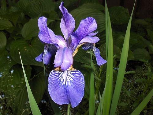 Provincial flower of Quebec, The Blue Flag Iris