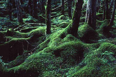 みなさんは、長野県に「苔の森」という森があるのをご存知ですか?長野県北八ヶ岳の白駒池周辺は、日本鮮苔類学会から『日本の貴重なコケの森』に選定された美しい森。一歩足を踏み入れると、緑色に輝くコケの楽園が広がっています。そこで出会えるのは、慌ただしい都会の生活では感じられない、神秘的な癒しの世界。さあ、ルーペ片手に、今までに出会ったことない「苔の森」へ出かけてみませんか。