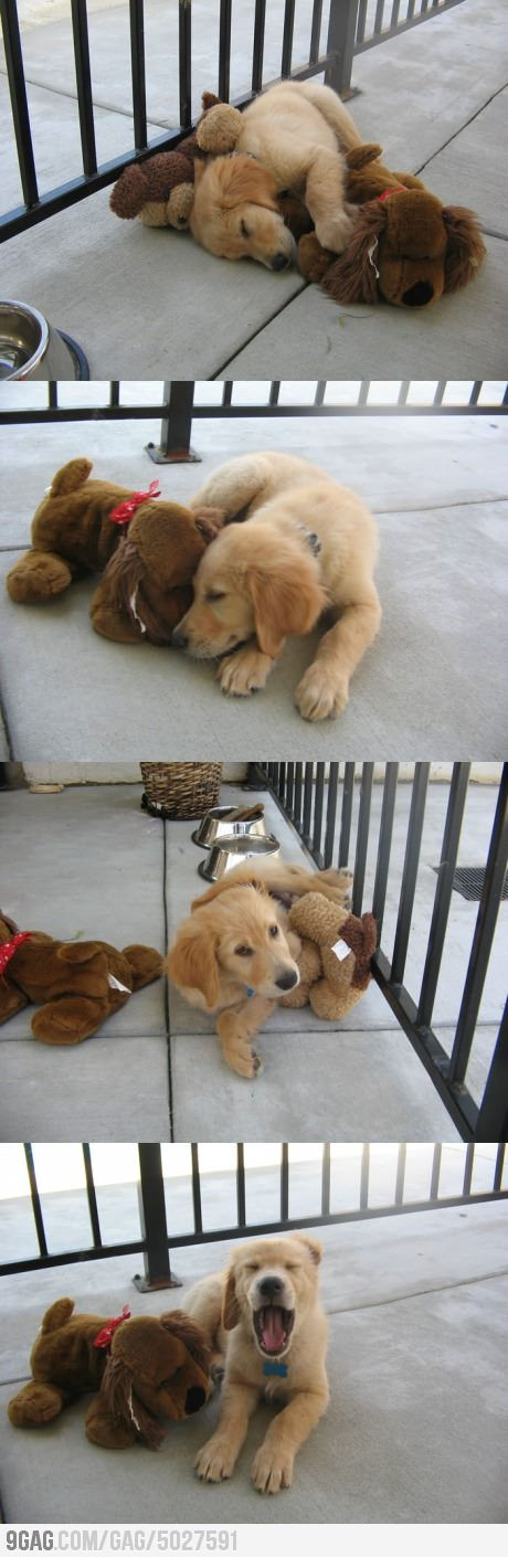 Golden puppy and his best friend. This shows the true Goldens personality.