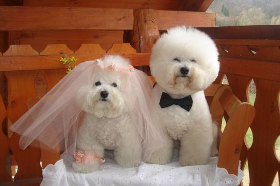 Mr and Mrs Bichon