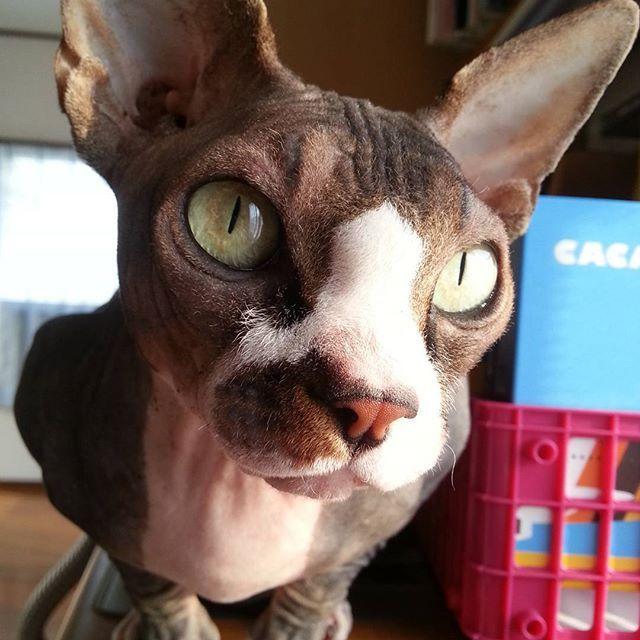 #おはようございます #goodmorning#goodnight  #ねこ#ねこばか#猫好き#猫 #スフィンクス猫#愛猫 #にゃんすたぐらむ#にゃんこ #cat#cats#catstagram#sphynx #sphynxlair#sphynxcats #sphynxcatsofinstagram  #sphynxlove