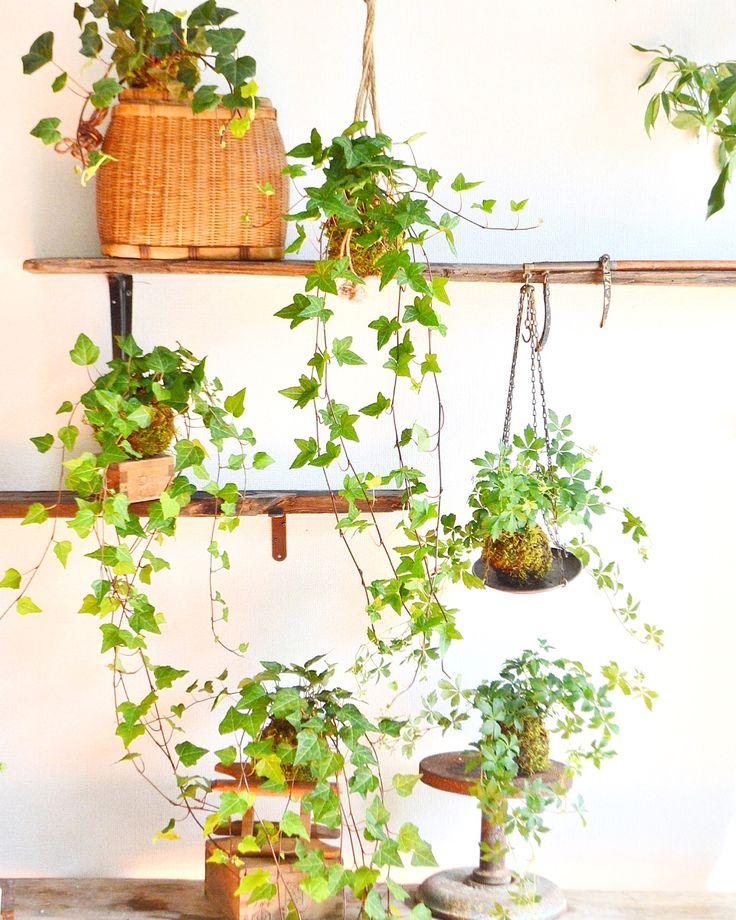 吊るすタイプの苔玉(アイビー・シュガーバイン)Kitowa 観葉植物 吊るす、観葉植物、植物