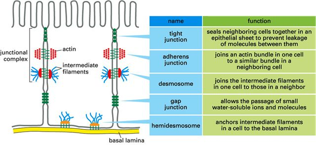 cell junctions - Google Search