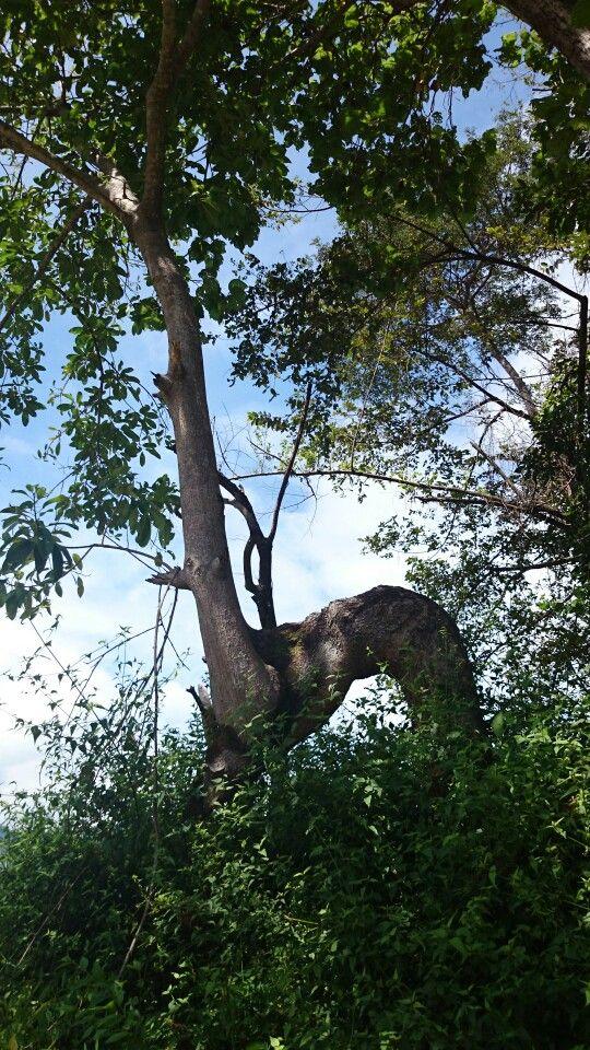 Arbol torcido de su tronco