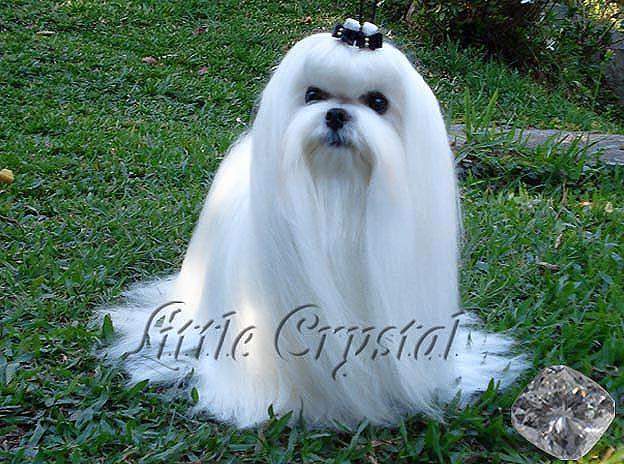 Little Crystal Vision - Maltês Macho Campeão