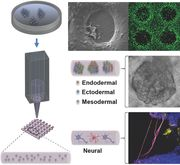The ability to create 3D tissues from induced pluripotent stem cells (iPSCs) is poised to revolutionize stem cell research and regenerative medicine, including individualized, patient‐specific stem cell‐based...