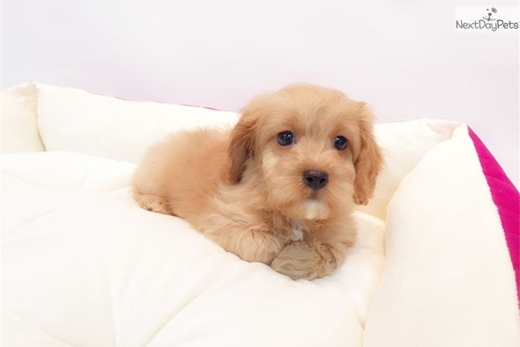 Beautiful Cavapoo Puppies for Sale in Albany, Oregon USA