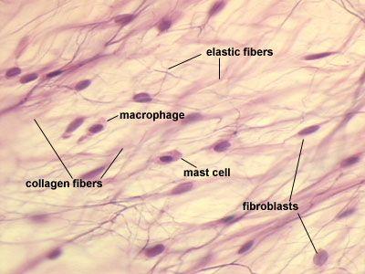 Loose Connective Tissue | Loose Connective Tissue