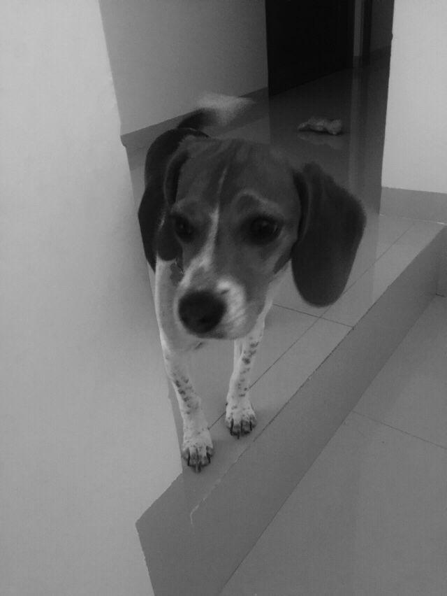 Milla #beagle #puppy