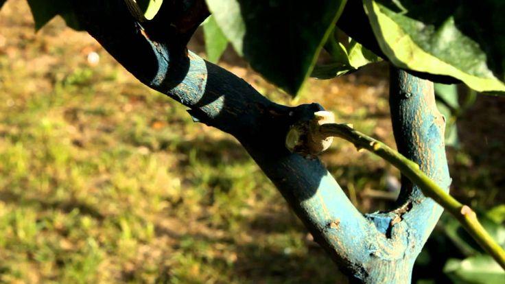 La Potatura del limone - Verde e Dintorni