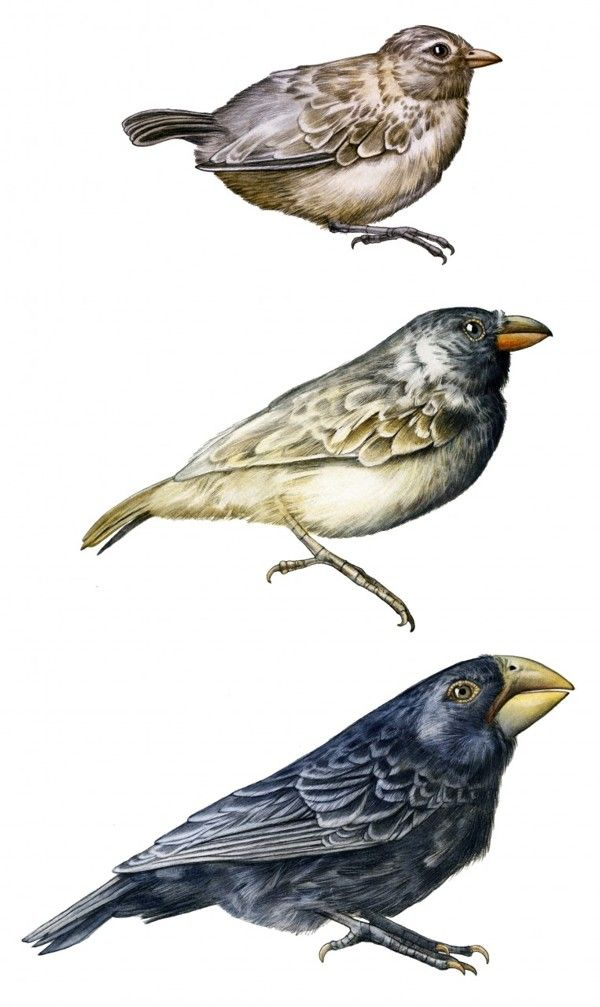 1000+ images about charles darwin finches on Pinterest ...