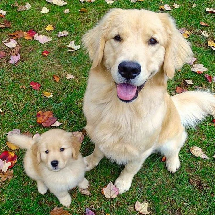 83 3k likes 1 183 comments golden retrievers goldenretrievers on instagram