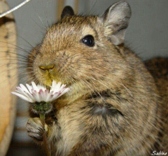 Degu sniff flower