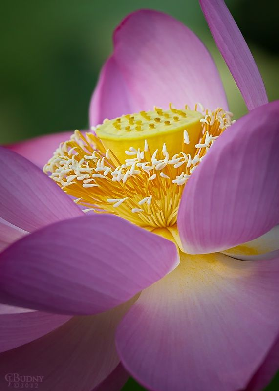 Morning Beauty  Description: 2012 edition - I'd not been to the Kenilworth aquatic gardens in five years; the lotus ponds are pretty spectacular!