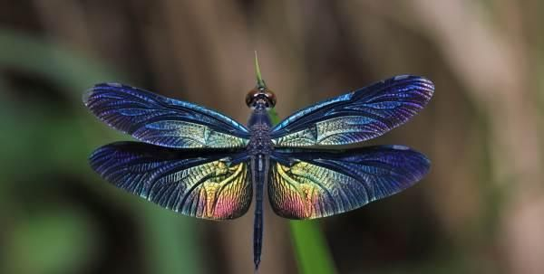 Le libellule sono insetti molto speciali ed eleganti che appartengono all'ordine degli Odonati, attorno a loro ruota una leggenda e tanti significati simbolici.